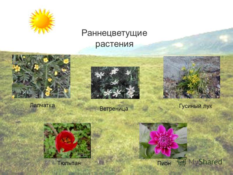 Ветреница Гусиный лук Тюльпан Пион Лапчатка Раннецветущие растения