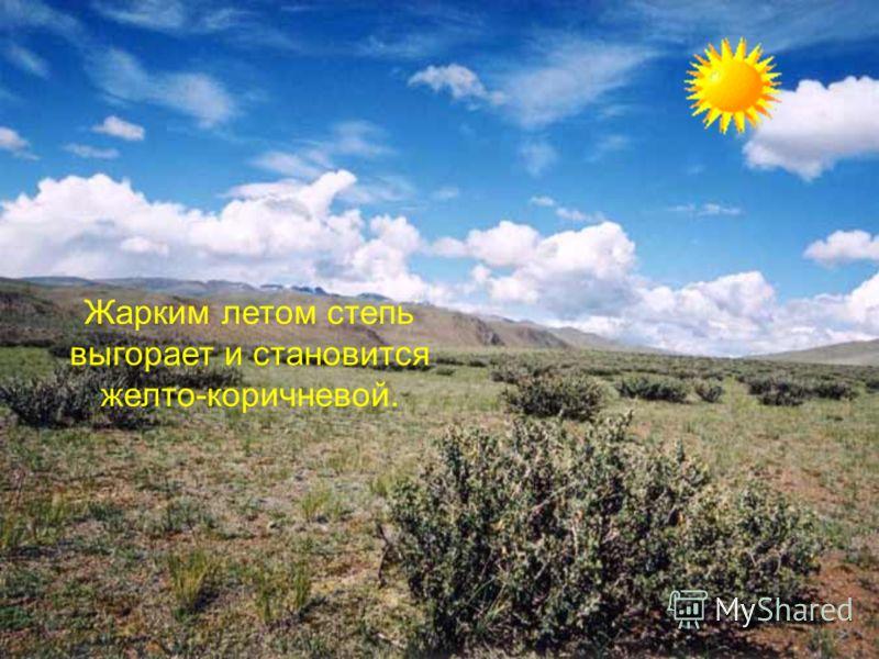 Жарким летом степь выгорает и становится желто-коричневой.