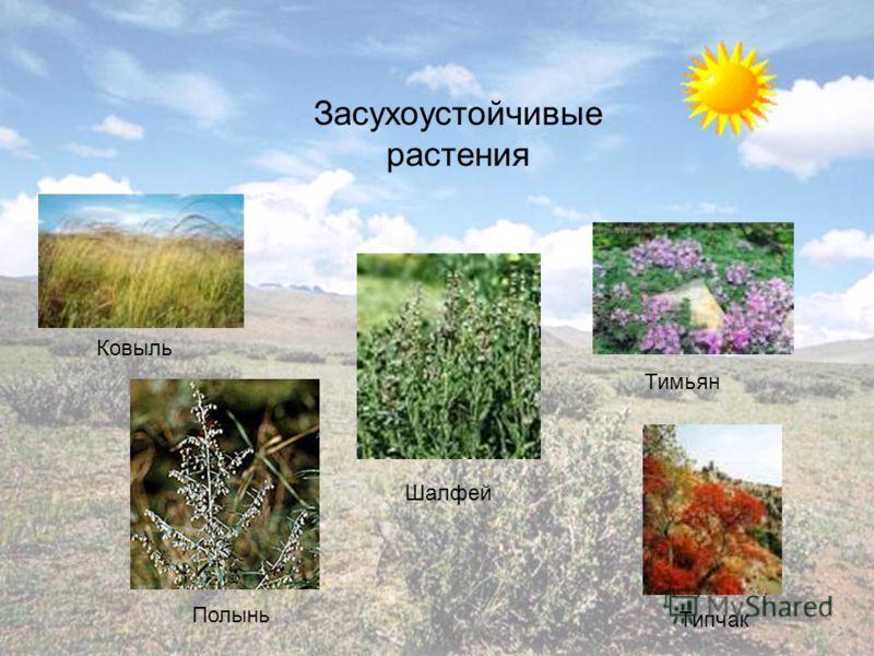 Ковыль Шалфей Тимьян Полынь Типчак Засухоустойчивые растения