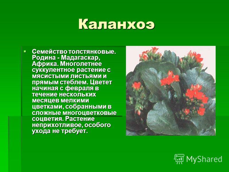 Каланхоэ Семейство толстянковые. Родина - Мадагаскар, Африка. Многолетнее суккулентное растение с мясистыми листьями и прямым стеблем. Цветет начиная с февраля в течение нескольких месяцев мелкими цветками, собранными в сложные многоцветковые соцвети