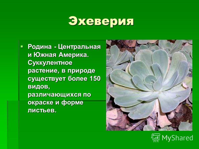 Эхеверия Родина - Центральная и Южная Америка. Суккулентное растение, в природе существует более 150 видов, различающихся по окраске и форме листьев.