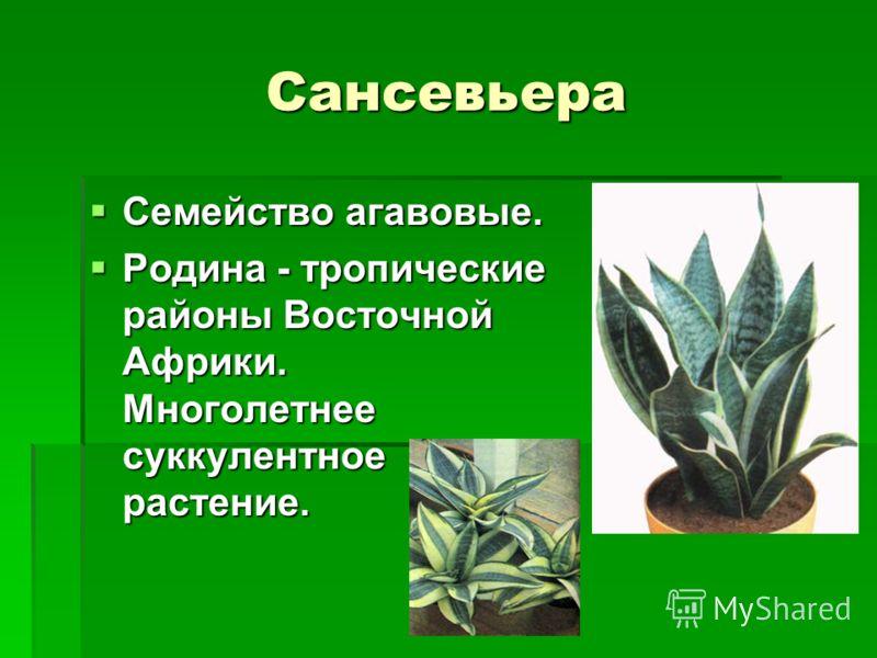 Сансевьера Семейство агавовые. Семейство агавовые. Родина - тропические районы Восточной Африки. Многолетнее суккулентное растение. Родина - тропические районы Восточной Африки. Многолетнее суккулентное растение.