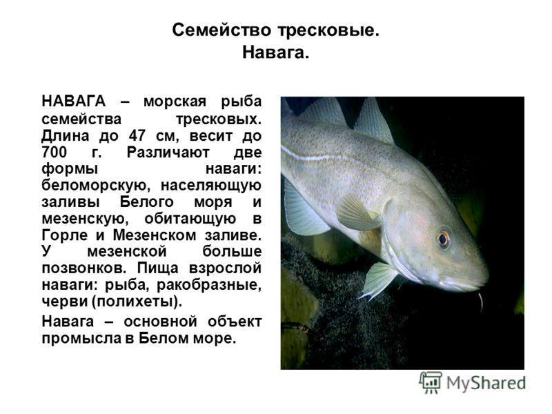 Семейство тресковые. Навага. НАВАГА – морская рыба семейства тресковых. Длина до 47 см, весит до 700 г. Различают две формы наваги: беломорскую, населяющую заливы Белого моря и мезенскую, обитающую в Горле и Мезенском заливе. У мезенской больше позво