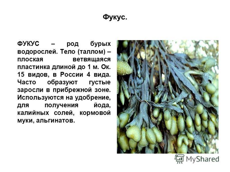 Фукус. ФУКУС – род бурых водорослей. Тело (таллом) – плоская ветвящаяся пластинка длиной до 1 м. Ок. 15 видов, в России 4 вида. Часто образуют густые заросли в прибрежной зоне. Используются на удобрение, для получения йода, калийных солей, кормовой м