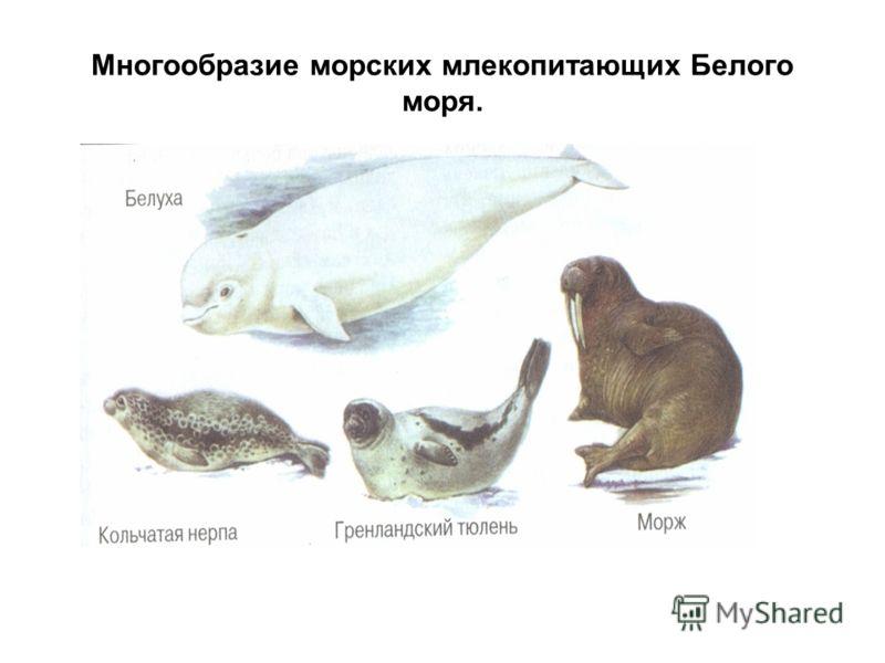 Многообразие морских млекопитающих Белого моря.