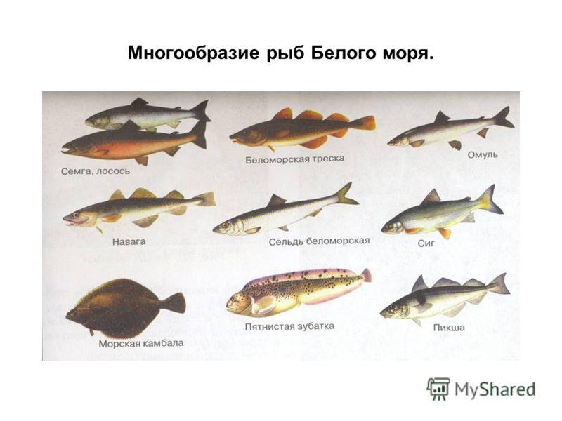 Многообразие рыб Белого моря.
