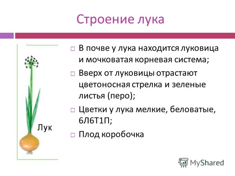 Строение лука В почве у лука находится луковица и мочковатая корневая система ; Вверх от луковицы отрастают цветоносная стрелка и зеленые листья ( перо ); Цветки у лука мелкие, беловатые, 6 Л 6 Т 1 П ; Плод коробочка