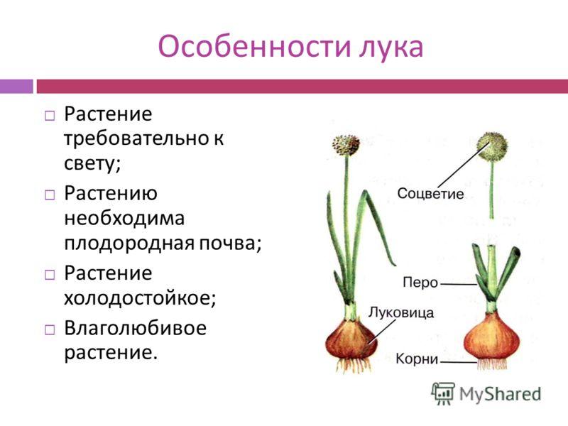Особенности лука Растение требовательно к свету ; Растению необходима плодородная почва ; Растение холодостойкое ; Влаголюбивое растение.