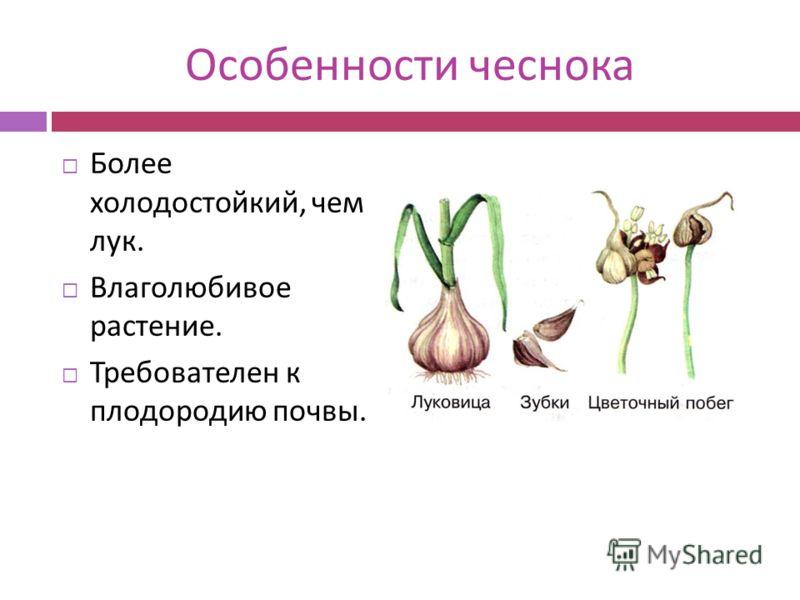 Особенности чеснока Более холодостойкий, чем лук. Влаголюбивое растение. Требователен к плодородию почвы.