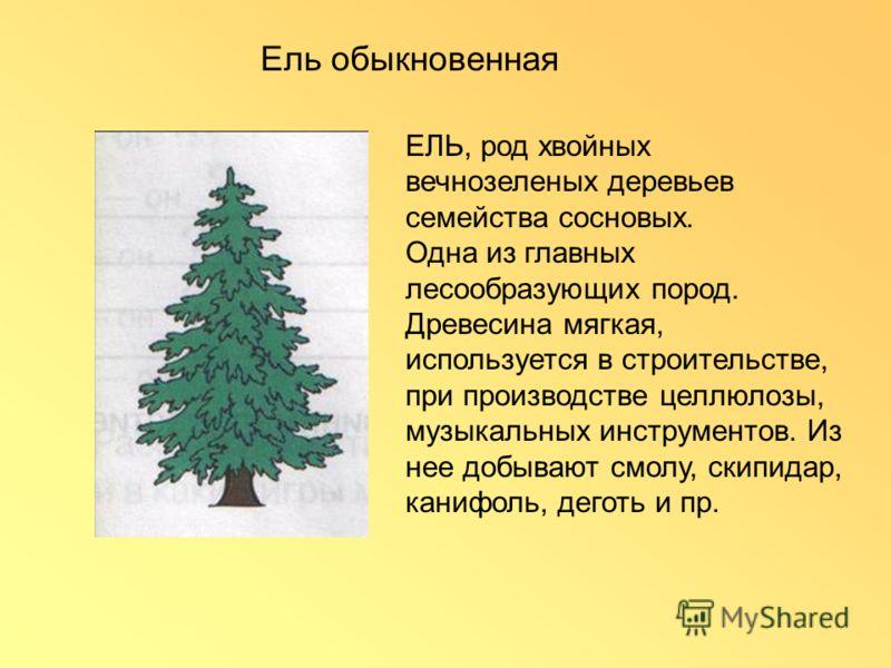ЕЛЬ, род хвойных вечнозеленых деревьев семейства сосновых. Одна из главных лесообразующих пород. Древесина мягкая, используется в строительстве, при производстве целлюлозы, музыкальных инструментов. Из нее добывают смолу, скипидар, канифоль, деготь и