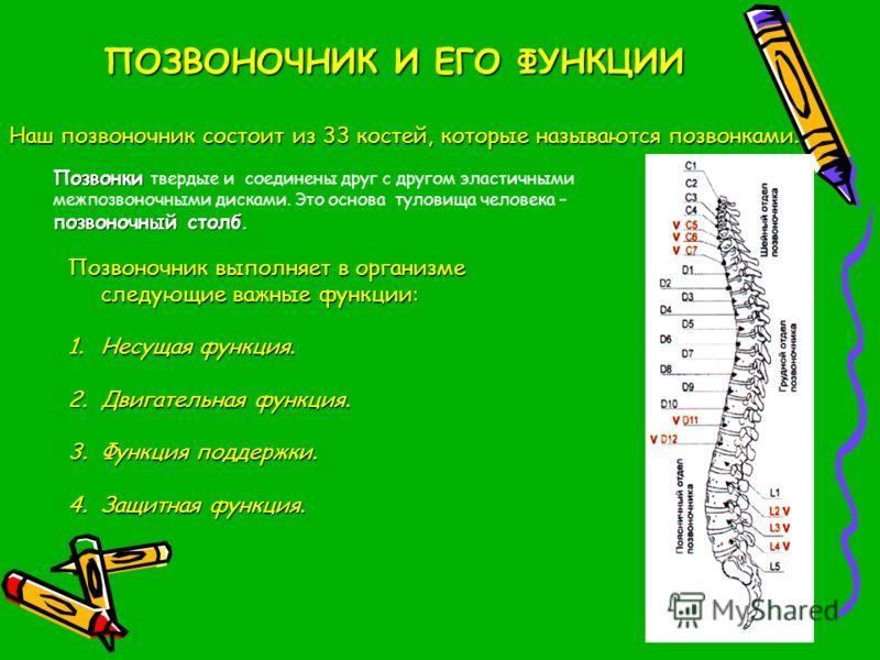 Наш позвоночник состоит из 33 костей, которые называются позвонками. Позвонки позвоночный столб. Позвонки твердые и соединены друг с другом эластичными межпозвоночными дисками. Это основа туловища человека – позвоночный столб. Позвоночник выполняет в
