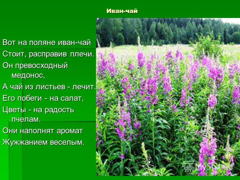 Иван-чай Вот на поляне иван-чай Стоит, расправив плечи. Он превосходный медонос, А чай из листьев - лечит. Его побеги - на салат, Цветы - на радость пчелам. Они наполнят аромат Жужжанием веселым.