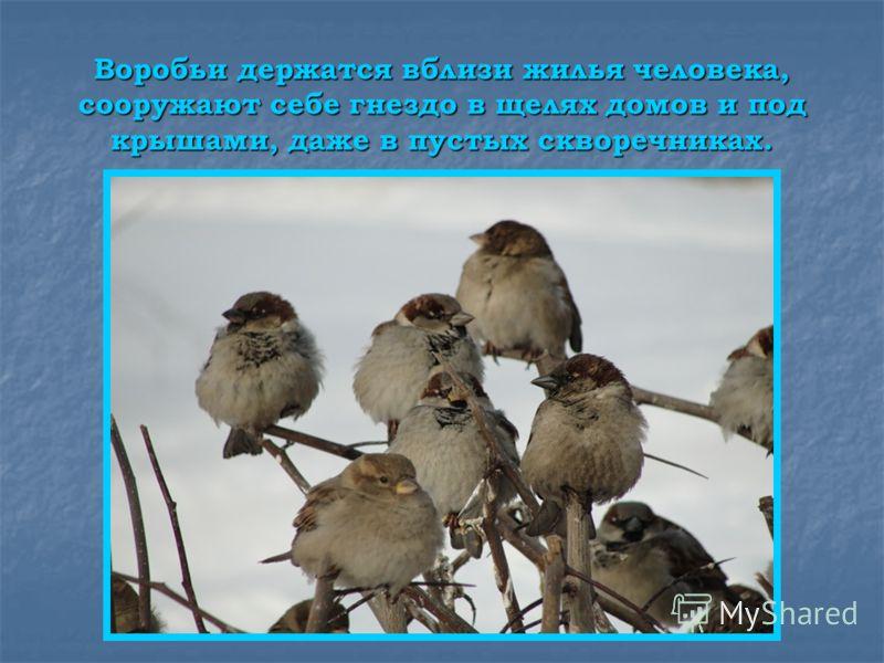 Воробьи держатся вблизи жилья человека, сооружают себе гнездо в щелях домов и под крышами, даже в пустых скворечниках.