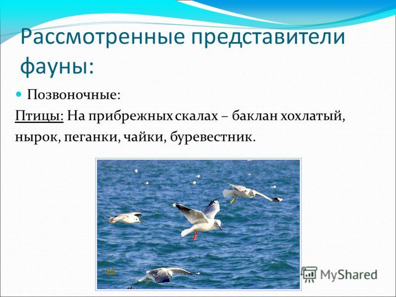 Рассмотренные представители фауны: Позвоночные: Птицы: На прибрежных скалах – баклан хохлатый, нырок, пеганки, чайки, буревестник.