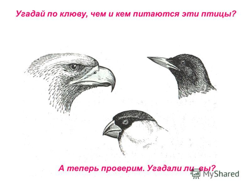 Угадай по клюву, чем и кем питаются эти птицы? А теперь проверим. Угадали ли вы?