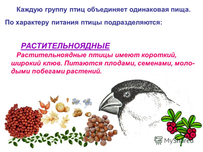 Каждую группу птиц объединяет одинаковая пища. РАСТИТЕЛЬНОЯДНЫЕ Растительноядные птицы имеют короткий, широкий клюв. Питаются плодами, семенами, моло- дыми побегами растений. По характеру питания птицы подразделяются: