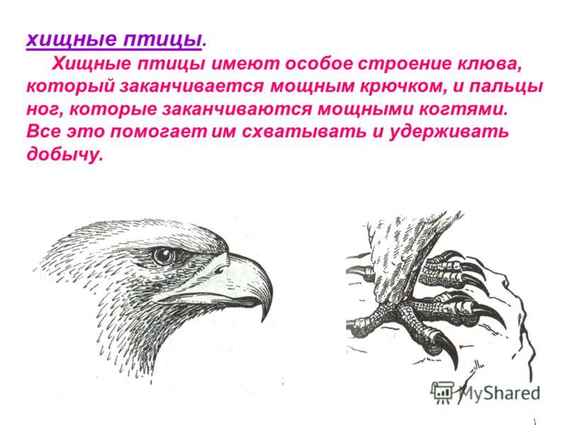 хищные птицы. Хищные птицы имеют особое строение клюва, который заканчивается мощным крючком, и пальцы ног, которые заканчиваются мощными когтями. Все это помогает им схватывать и удерживать добычу.