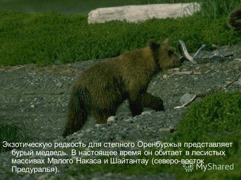 Экзотическую редкость для степного Оренбуржья представляет бурый медведь. В настоящее время он обитает в лесистых массивах Малого Накаса и Шайтантау (северо-восток Предуралья).