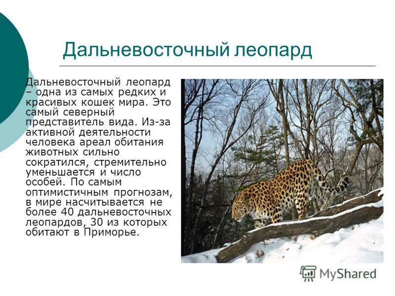 Дальневосточный леопард Дальневосточный леопард – одна из самых редких и красивых кошек мира. Это самый северный представитель вида. Из-за активной деятельности человека ареал обитания животных сильно сократился, стремительно уменьшается и число особ