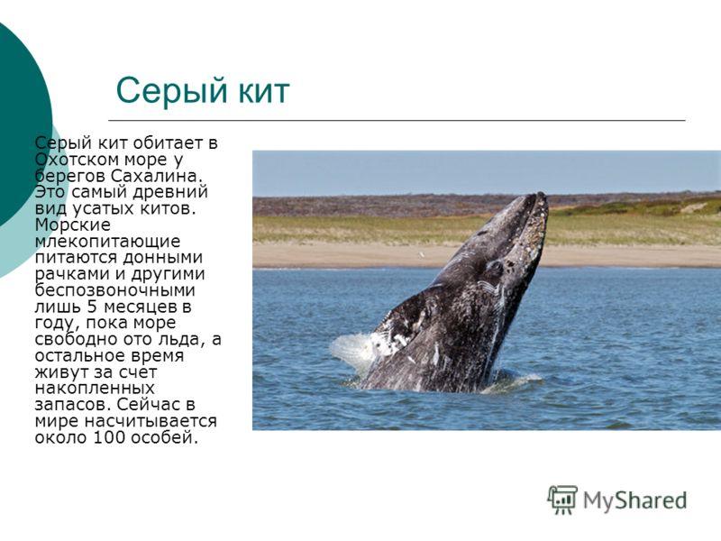 Серый кит Серый кит обитает в Охотском море у берегов Сахалина. Это самый древний вид усатых китов. Морские млекопитающие питаются донными рачками и другими беспозвоночными лишь 5 месяцев в году, пока море свободно ото льда, а остальное время живут з