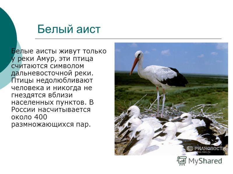 Белый аист Белые аисты живут только у реки Амур, эти птица считаются символом дальневосточной реки. Птицы недолюбливают человека и никогда не гнездятся вблизи населенных пунктов. В России насчитывается около 400 размножающихся пар.