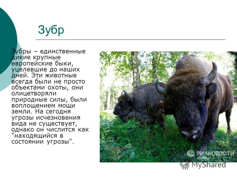 Зубр Зубры – единственные дикие крупные европейские быки, уцелевшие до наших дней. Эти животные всегда были не просто объектами охоты, они олицетворяли природные силы, были воплощением мощи земли. На сегодня угрозы исчезновения вида не существует, од