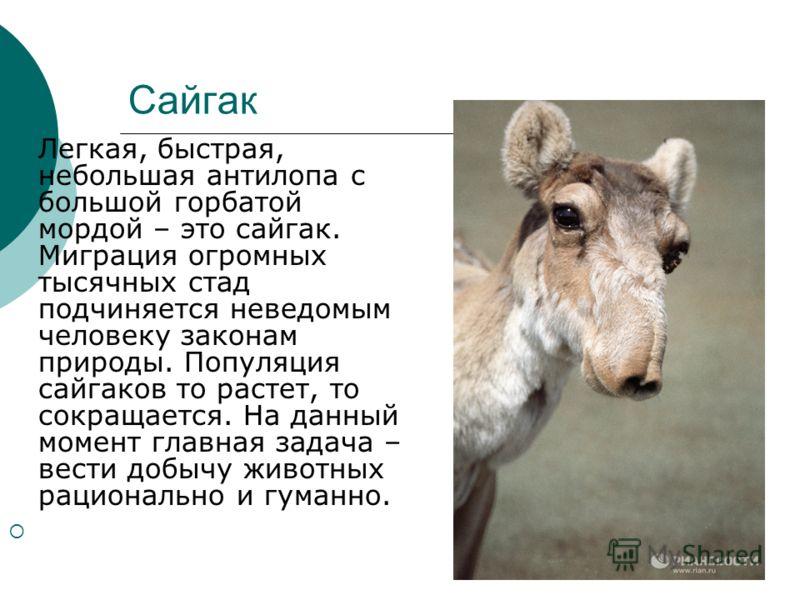 Сайгак Легкая, быстрая, небольшая антилопа с большой горбатой мордой – это сайгак. Миграция огромных тысячных стад подчиняется неведомым человеку законам природы. Популяция сайгаков то растет, то сокращается. На данный момент главная задача – вести д