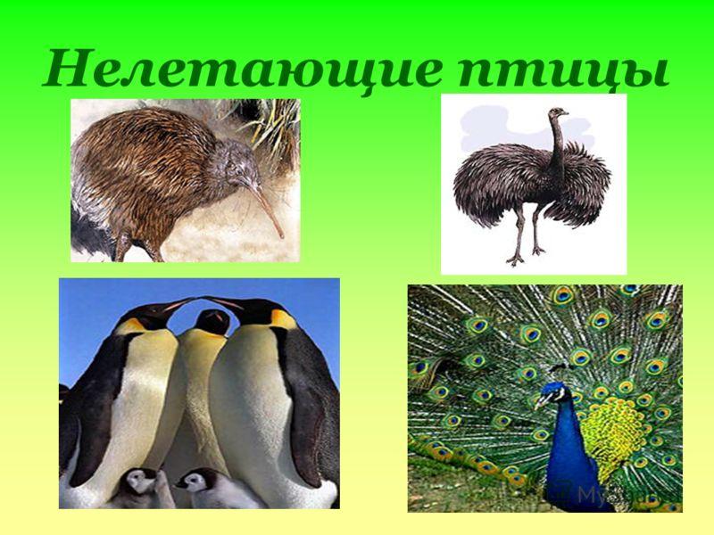 Нелетающие птицы