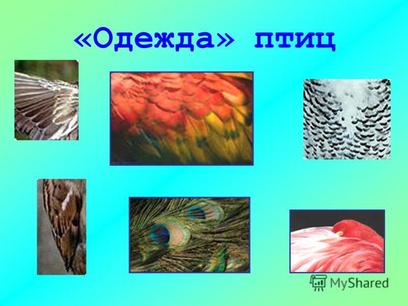«Одежда» птиц