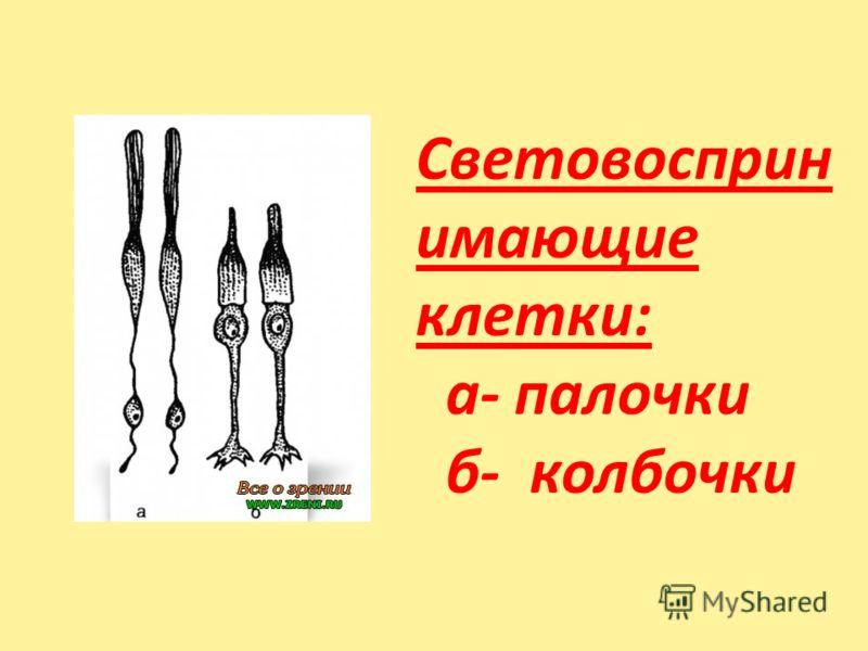 Световосприн имающие клетки: а- палочки б- колбочки