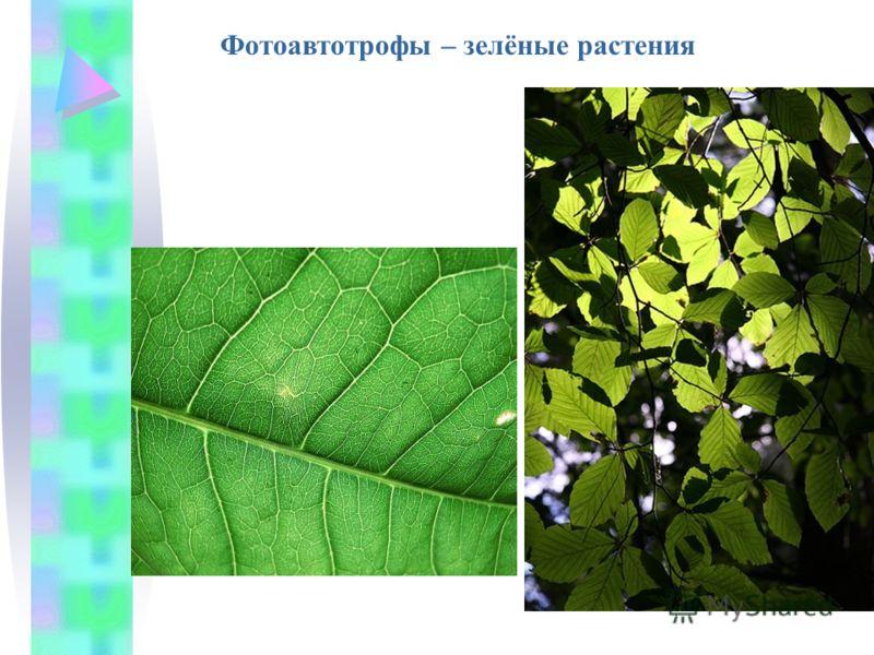 Фотоавтотрофы – зелёные растения