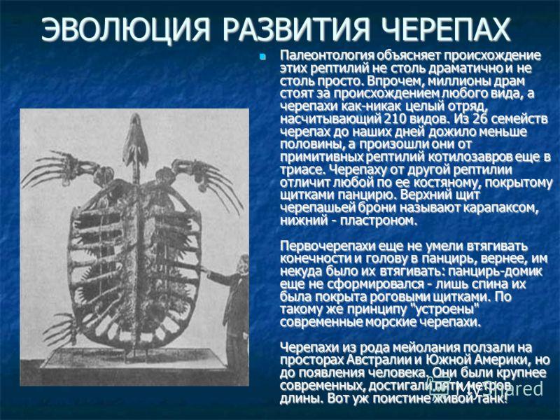 ЭВОЛЮЦИЯ РАЗВИТИЯ ЧЕРЕПАХ Палеонтология объясняет происхождение этих рептилий не столь драматично и не столь просто. Впрочем, миллионы драм стоят за происхождением любого вида, а черепахи как-никак целый отряд, насчитывающий 210 видов. Из 26 семейств