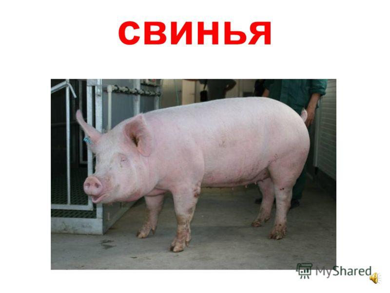 боров