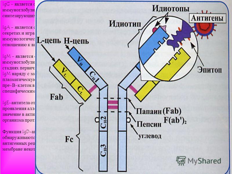 IgG - является основным классом иммуноглобулинов, находящихся в крови и синтезирующихся при вторичном иммунном ответе. IgA - является основным классом антител в секретах и играет решающую роль в иммунологической защите слизистых по отношению к вируса