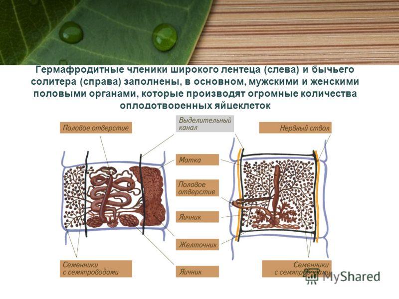 Гермафродитные членики широкого лентеца (слева) и бычьего солитера (справа) заполнены, в основном, мужскими и женскими половыми органами, которые производят огромные количества оплодотворенных яйцеклеток