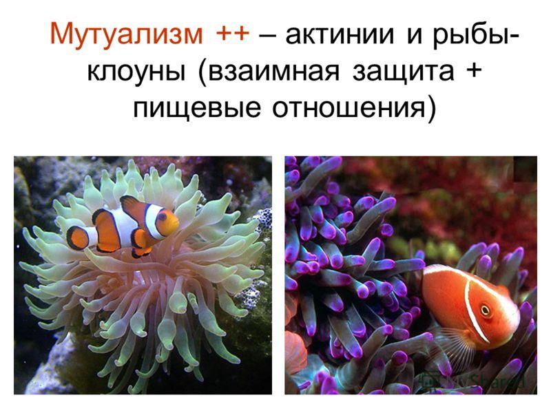 Мутуализм ++ – актинии и рыбы- клоуны (взаимная защита + пищевые отношения)