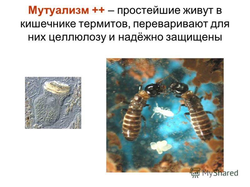 Мутуализм ++ – простейшие живут в кишечнике термитов, переваривают для них целлюлозу и надёжно защищены