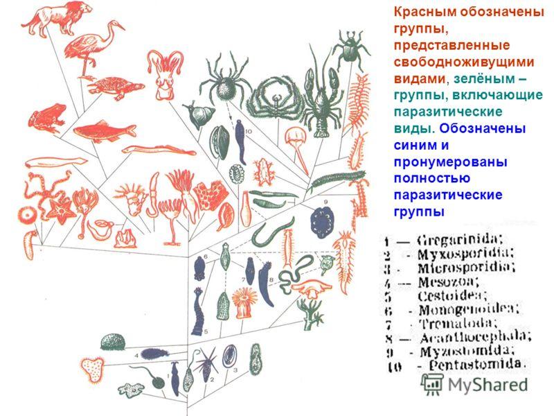 Красным обозначены группы, представленные свободноживущими видами, зелёным – группы, включающие паразитические виды. Обозначены синим и пронумерованы полностью паразитические группы