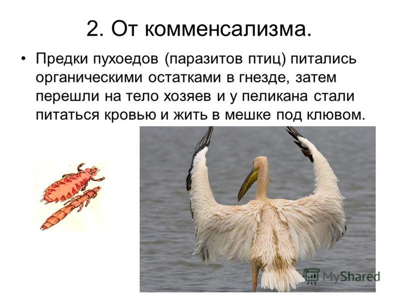 2. От комменсализма. Предки пухоедов (паразитов птиц) питались органическими остатками в гнезде, затем перешли на тело хозяев и у пеликана стали питаться кровью и жить в мешке под клювом.