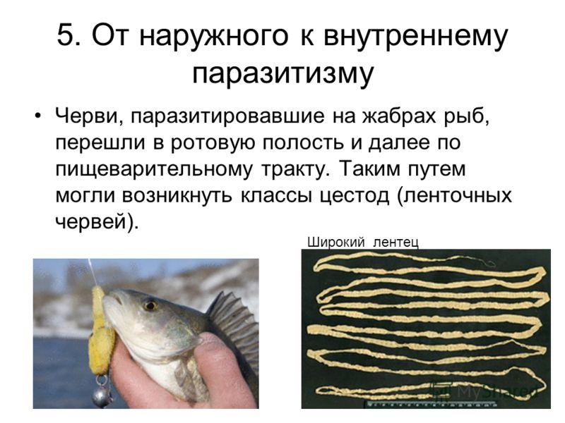 5. От наружного к внутреннему паразитизму Черви, паразитировавшие на жабрах рыб, перешли в ротовую полость и далее по пищеварительному тракту. Таким путем могли возникнуть классы цестод (ленточных червей). Широкий лентец