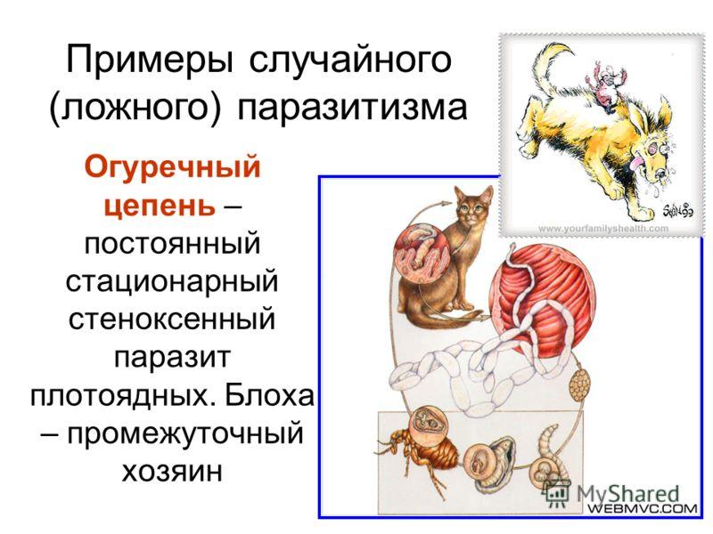 Огуречный цепень – постоянный стационарный стеноксенный паразит плотоядных. Блоха – промежуточный хозяин Примеры случайного (ложного) паразитизма