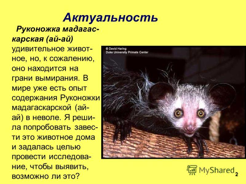 Актуальность Руконожка мадагас- карская (ай-ай) удивительное живот- ное, но, к сожалению, оно находится на грани вымирания. В мире уже есть опыт содержания Руконожки мадагаскарской (ай- ай) в неволе. Я реши- ла попробовать завес- ти это животное дома