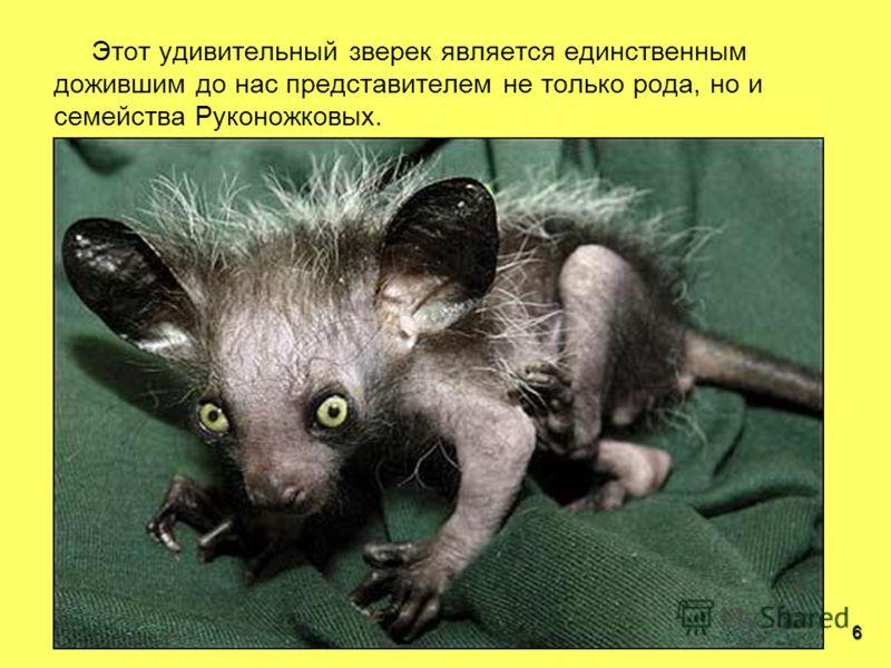 6 Этот удивительный зверек является единственным дожившим до нас представителем не только рода, но и семейства Руконожковых.