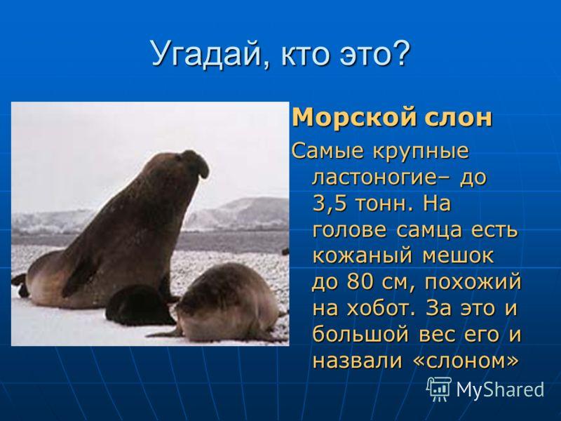 Угадай, кто это? Ледяная вода для него не беда, Жира толстый слой согревает всегда. Весит несколько он тонн. Кто же это?.... Морской слон Самые крупные ластоногие– до 3,5 тонн. На голове самца есть кожаный мешок до 80 см, похожий на хобот. За это и б