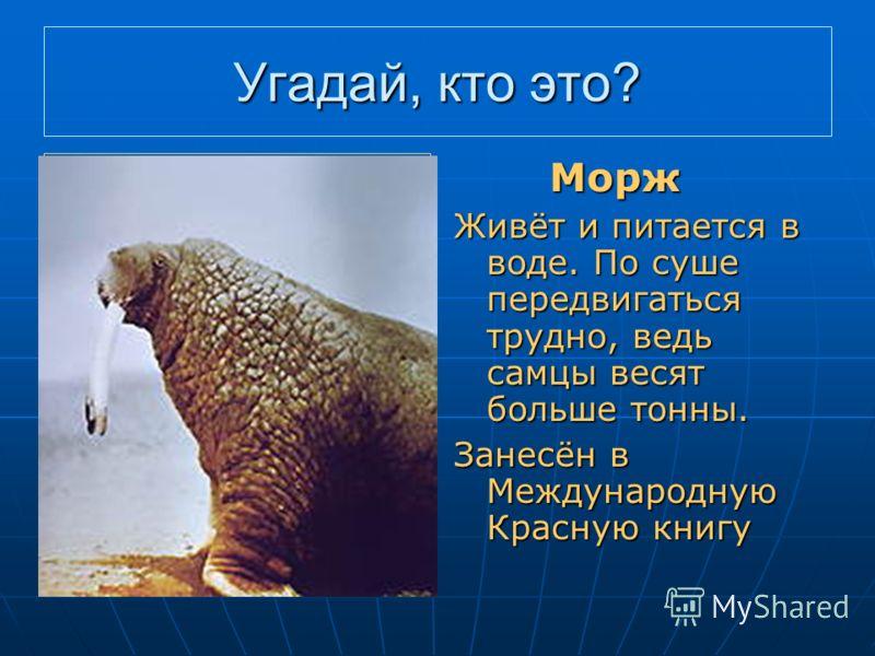 Угадай, кто это? Плавает, а не рыба, Толстый слой жира, а не тюлень, Есть бивни, а не слон Морж Морж Живёт и питается в воде. По суше передвигаться трудно, ведь самцы весят больше тонны. Занесён в Международную Красную книгу