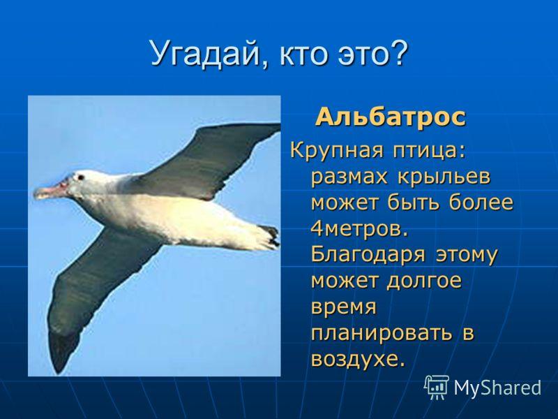 Угадай, кто это? Пернатый с крыльями матрос и он же планер… (альбатрос) Альбатрос Альбатрос Крупная птица: размах крыльев может быть более 4метров. Благодаря этому может долгое время планировать в воздухе.