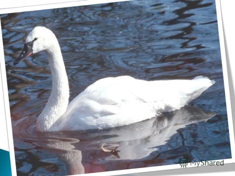 Лебедь по своей величине, силе, красоте и величавой осанке давно и справедливо назван царем всей водяной птицы. Белый как снег, с блестящими, прозрачными лапами, с длинною, гибкою и красивою шеею, он невыразимо прекрасен. Найдите « данное» и « новое»