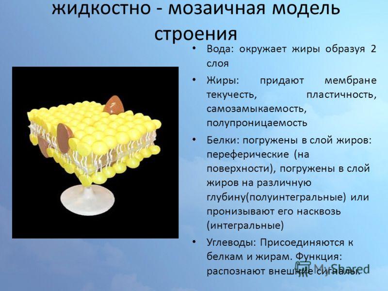 жидкостно - мозаичная модель строения Вода: окружает жиры образуя 2 слоя Жиры: придают мембране текучесть, пластичность, самозамыкаемость, полупроницаемость Белки: погружены в слой жиров: переферические (на поверхности), погружены в слой жиров на раз