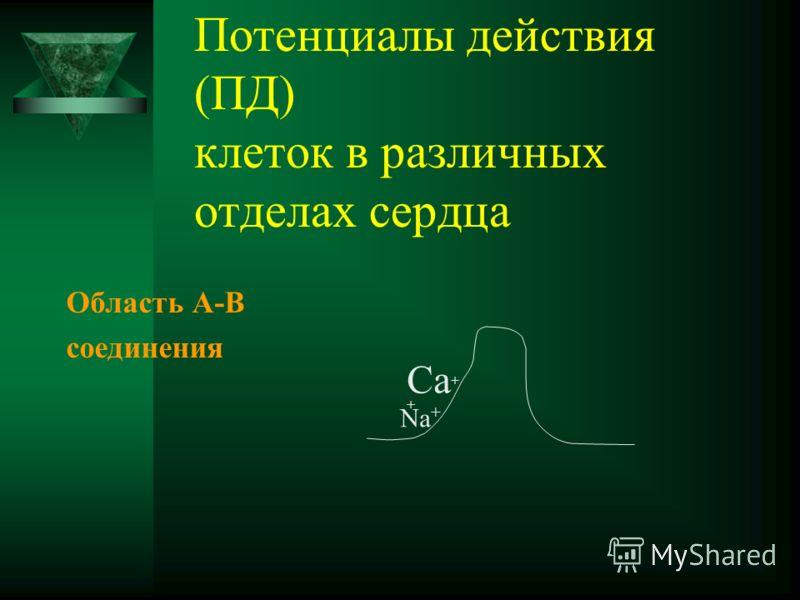 Потенциалы действия (ПД) клеток в различных отделах сердца Область А-В соединения Са + + Na +