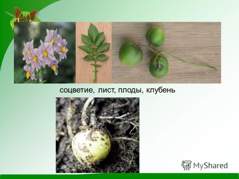 соцветие, лист, плоды, клубень